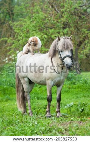 Maltese dog sitting on the back of grey pony - stock photo