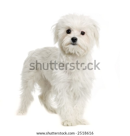 maltese dog standing in front of white background