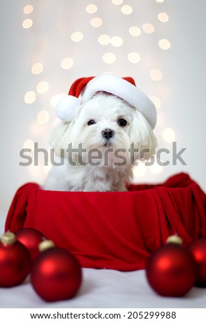 Maltese dog with Holiday Santa Hat