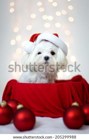Maltese dog with Holiday Santa Hat - stock photo