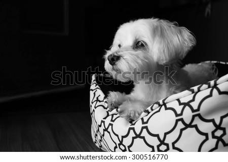Maltese gazing with his big beautiful puppy dog eyes - stock photo