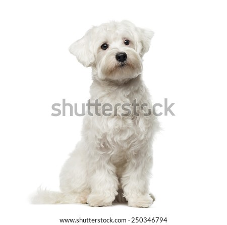 Maltese (10 months old) - stock photo