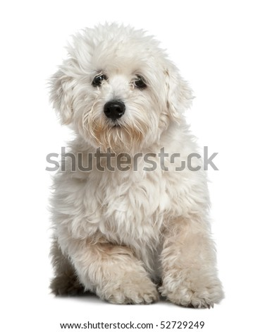 Maltese, 11 months old, sitting in front of white background