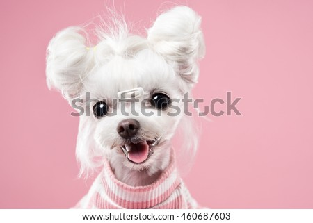 Maltese portrait in pink background