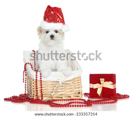 Maltese puppy in basket. Christmas theme. - stock photo