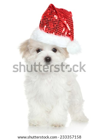 Maltese puppy in Santa red hat on white background - stock photo