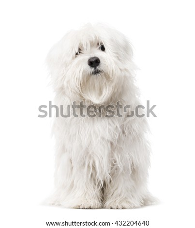 Maltese puppy looking at the camera and sitting, isolated on white