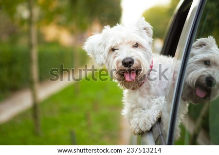 maltese puppy looking out the car window - stock photo
