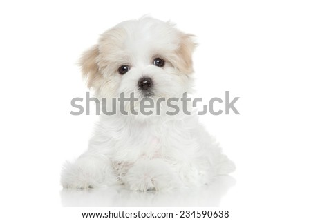 Maltese puppy lying on a white background - stock photo