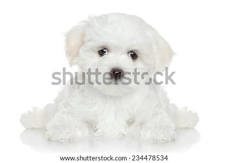 Maltese puppy lying on white background - stock photo