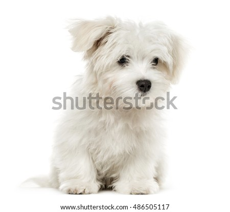 Maltese puppy, 4 months old, isolated on white