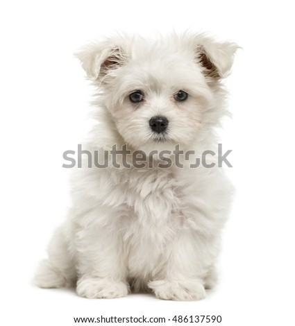 Maltese puppy, 3 months old, sitting and looking at camera, isolated on white