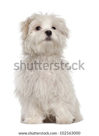 Maltese puppy, 5 months old, sitting in front of white background - stock photo