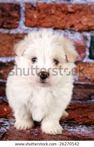 Maltese puppy on bricks