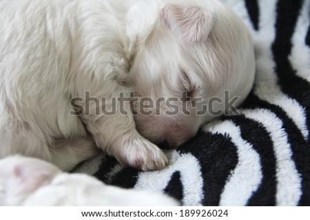 maltese puppy sleeping - stock photo