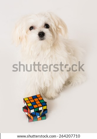 Maltese puppy with toy cube on white background - stock photo