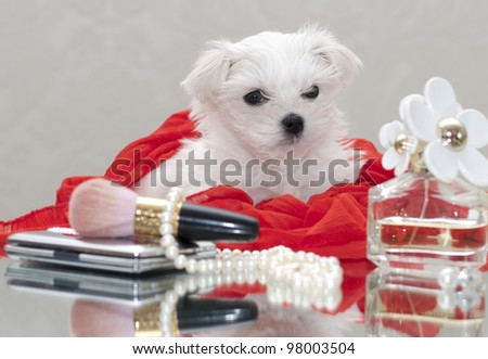 Maltese puppy with women's accessories - stock photo