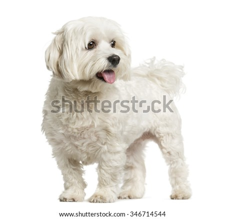 Maltese standing in front of a white background - stock photo
