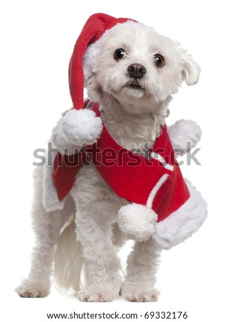Maltese wearing Santa outfit, 3 and a half years old, standing in front of white background - stock photo