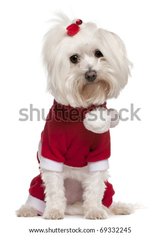 Maltese wearing Santa outfit, 4 years old, sitting in front of white background