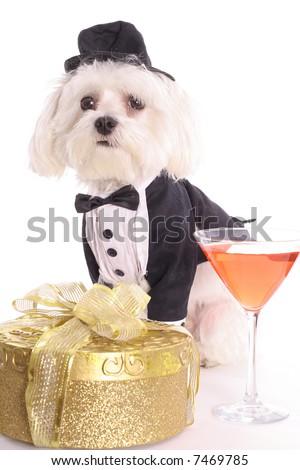 Maltese with gift in tuxedo - stock photo