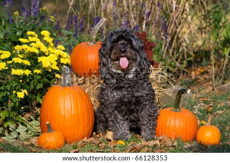 Maltipoo Dog with Pumpkins