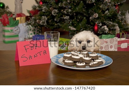 Maltipoo Puppy Checking Out Santa's Christmas Cookies - stock photo