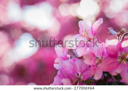 Malus pumila - natural lovely pink fragrant spring flowers of a paradise apple-tree in small DOF - stock photo