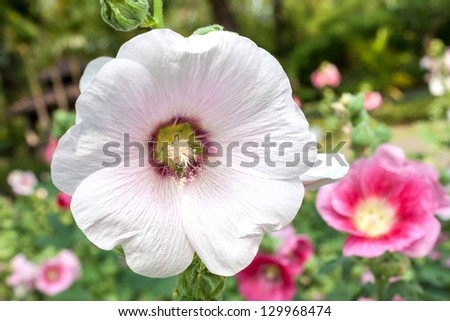 Malva (Alcea rosea hollyhock) flower - stock photo