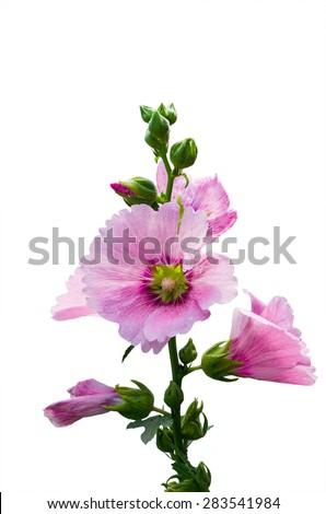 Malva (Alcea rosea hollyhock) flower and Hollyhock flower in the - stock photo