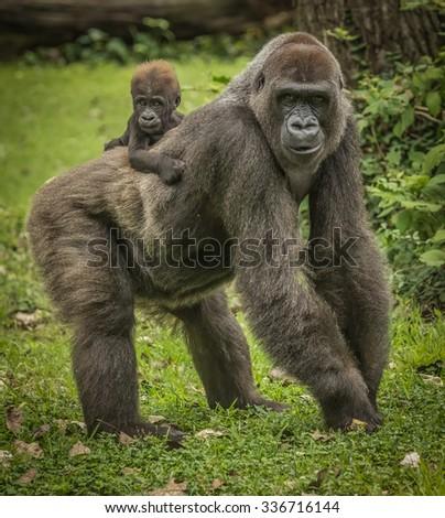 Mama Gorilla and Baby  - stock photo