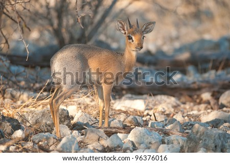 Mammal; Dik-dik; Damaraland; Madoqua kirkii (Bovidae); Etosha; Wildlife; Vertebrate; Mammal; Herbivore; Antelope; Ungulate; Warm blooded; Africa; Southern Africa; Safari; Outdoors - stock photo