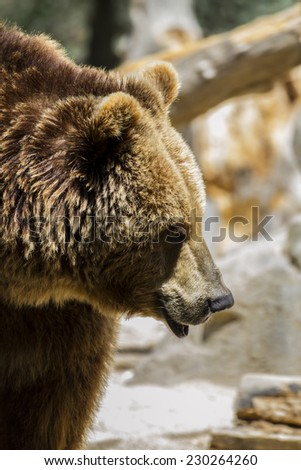 mammal, Spanish powerful brown bear, huge and strong  wild animal - stock photo