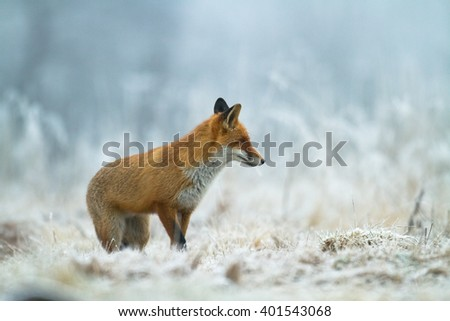Mammals - Red Fox (Vulpes vulpes) on the snow, looking for something to eat. Winter time.