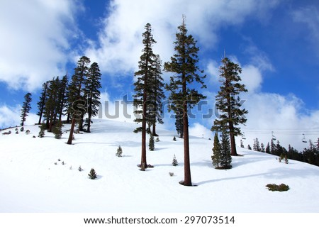 Mammoth Pines in winter