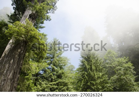 Mammoth trees at Sequoia National Park - stock photo
