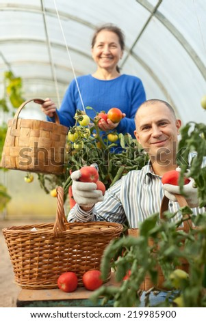 Man and woman picking tomatoes in greenhouse - stock photo