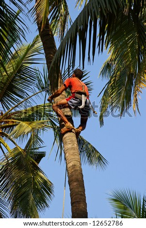 Man climbs on a tree to reap crop of a cocoes