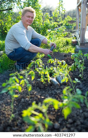 Man cultivates seedlings of tomatoes in the garden