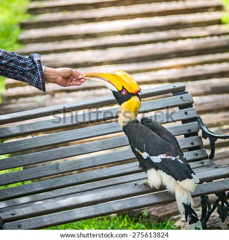 Man feeding hornbills - stock photo