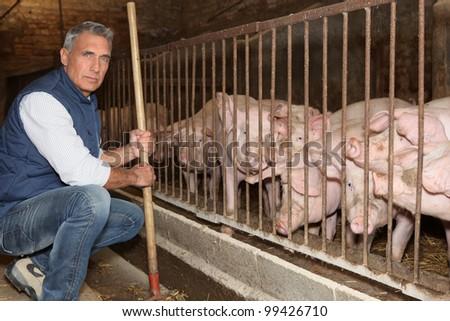 Man feeding pigs - stock photo