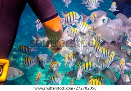 Man feeds the tropical fish under water.Ocean coral reef. Warning - authentic shooting underwater in challenging conditions. A little bit grain and maybe blurred. - stock photo