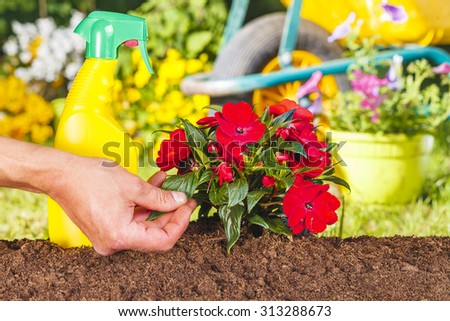 Man hand and red flowers plant in the garden on green background with wheelbarrow