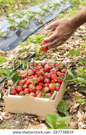 Man hands dropping strawberries in a box full of fresh picked strawberries - stock photo