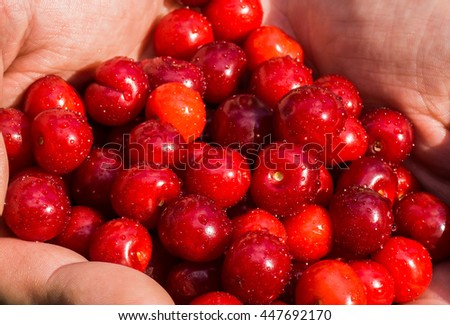 Man hands holding fresh red cherries with water drops