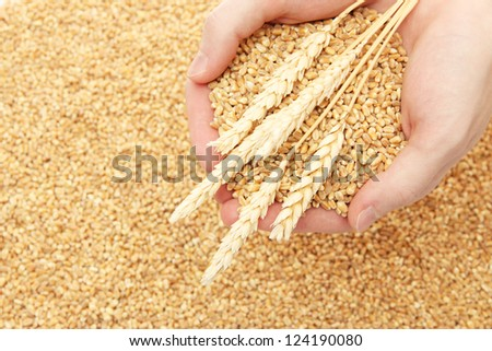 man hands with grain, on wheat background - stock photo