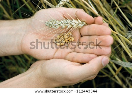 Man hands with wheat grains and spica
