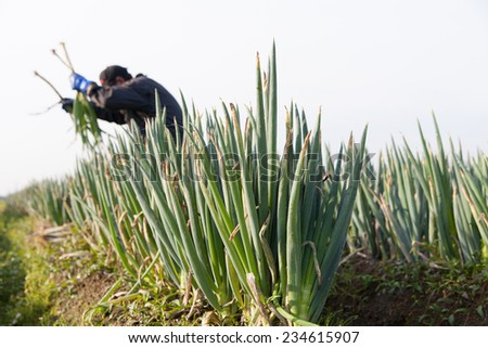man harvesting green onion