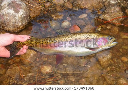 Man holding a nice and colorful fish - Rainbow Trout  - stock photo