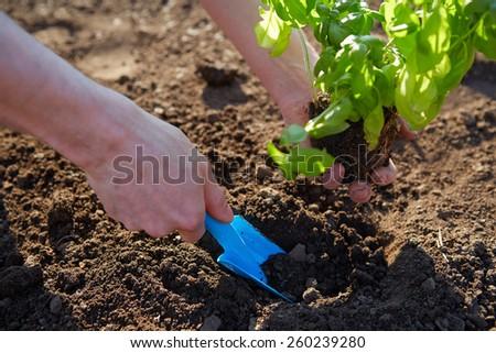 Man holding basil at planting with garden shovel - stock photo